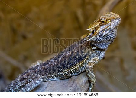Bearded Agama climbs on wood Ukraine.The bearded agama is the lizard of the Agama family. Received its name because of the characteristic neck cuff which in moments of danger or marital advances swells acquiring a dark color.