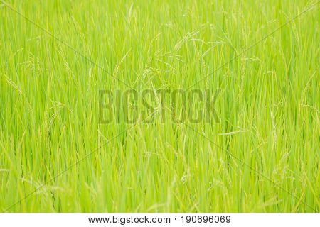 Nature Of Rice Field On Rice Paddy