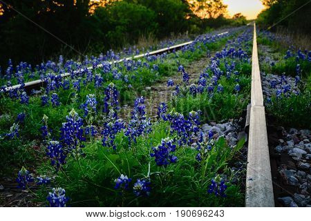Bluebonnets growing along railroad tracks into the distance