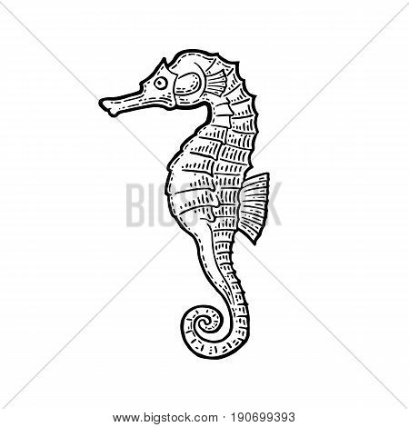 Sea Horse. Vector black engraving vintage illustrations. Isolated on white background.