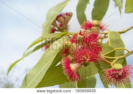 Red gum flowers with green leaves of Australian native eucalyptus tree called Summer Red flowering in winter in Australia