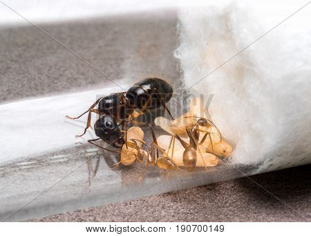 Super macro image of the worker ant (Camponotus Sp.) feeding the queen ant in test tube while another ant feeding the larva