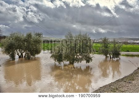 Cultivation Of Olive Trees, Flooded By Heavy Rains, Disaster Ecological Change Climate On The Planet