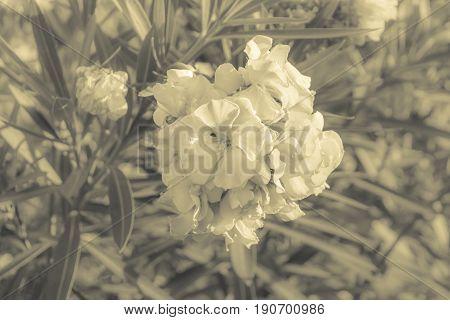 Beauty Flower At Malecon Garden, Guayaquil, Ecuador