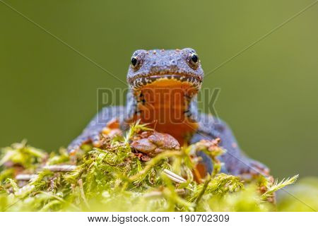 Frontal Portrait Of Alpine Newt