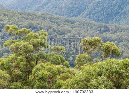 eucalyptus trees growing in Gondwana rainforest in Springbrook National Park, Queensland, Australia