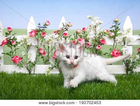 Small fluffy white kitten standing in green grass white picket fence with pink roses and white flowers behind lawn continues in background to skyline. Hazy blue sky.