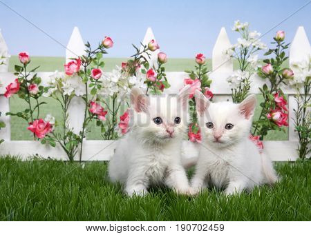 two small fluffy white kittens standing in green grass white picket fence with pink roses and white flowers behind lawn continues in background to skyline. Hazy blue sky.