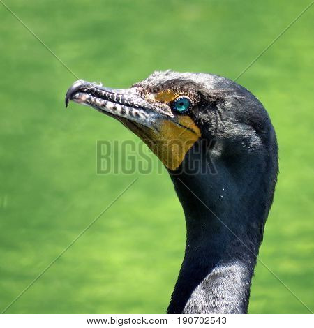 Portrait of Cormorant on the Lake Ontario in Humber Bay Park of Toronto Canada June 8 2017