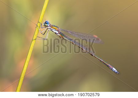 Male Small Emerald Spreadwing Dragonfly
