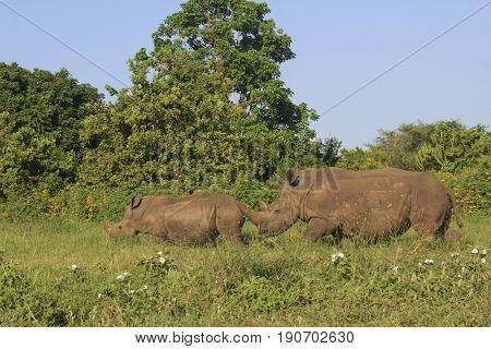 White Rhinos. Mother and young rhinoceros
