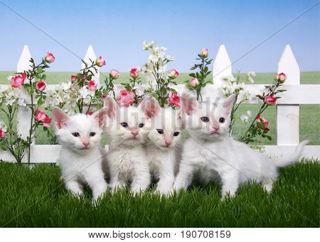 Four fluffy white kittens standing in green grass backyard lawn white picket fence background with pink roses and white flowers meadow behind with blue sky