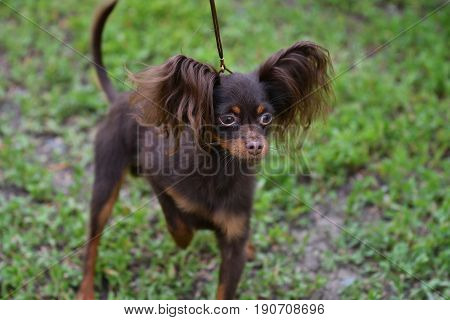 Decorative Dog Breed Russian Toy