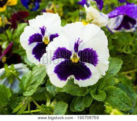 violet flower. Pansies. flower Pansy. Colorful pansies. White pansies