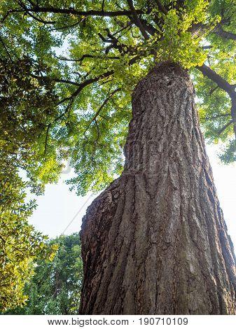 Shanghai, China - Nov 4, 2016: In Yu Yuan (Yu Garden) - The famous 400 year old Ginkgo biloba tree. Still going strong.