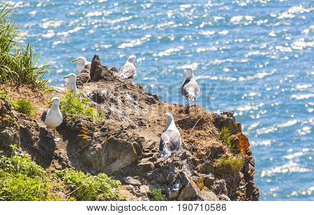 Seagulls are sitting in pairs on nests on a rock against the background of the blue ocean
