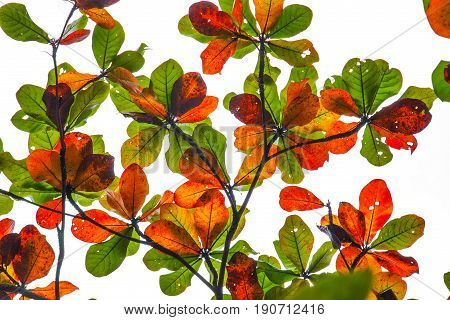 colorful bengal almond leaves on white sky autumn season summer