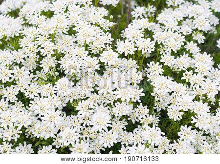 Achollea alpina Yarrow, Yarrow White in bloom.