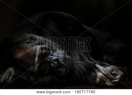 Portrait of adult male gorilla in funny position shoving middlefinger.