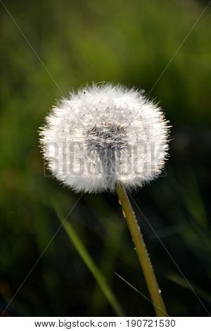 One Dandelion Clock as a close up