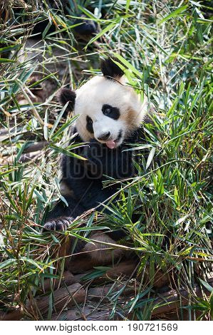 Young panda sitting in grass and eating bamboo in China