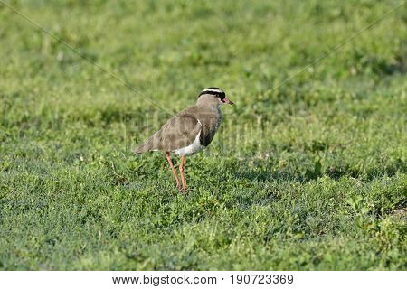 Crowned Lapwing, Addo Elephant National Park