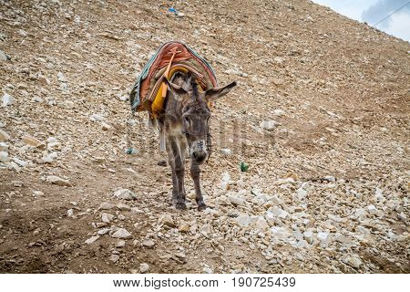 Saddled donkey stands in mountain area, the Wadi Qelt in the north of the Judean Desert, Israel