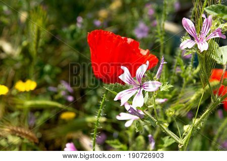 Wild flower garden with poppies with morning sunlight