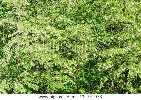 Background from the fragment of the thickets blooming black locust trees with flower clusters