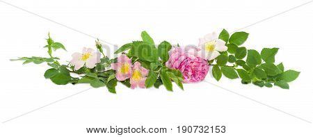 Branches of the dog-rose with different white and pink flowers and Bourbon rose close up on a light background