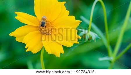 Closeup of a honey bee gathering nectar from a yellow flower with a soft blurred background.