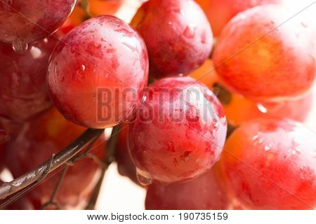Cluster of ripe juicy organic red and pink grapes with water drops hanging over the edge of wire basket harvest summer autumn close up
