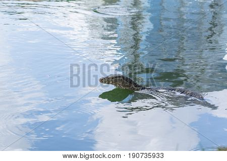 Water Monitor Or Thailand Dragon Animal Alligator In The Water Pond