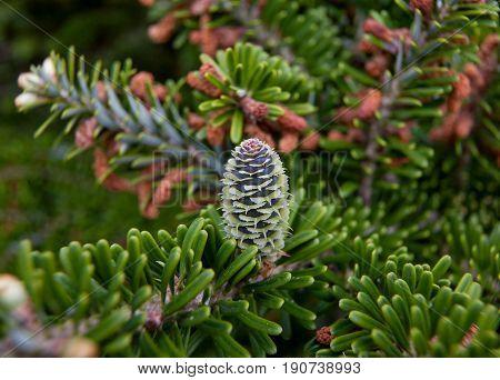 Rare conifers: Korean fir. Cones of the fir. Macro.