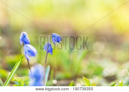 Blooming Siberian Squill