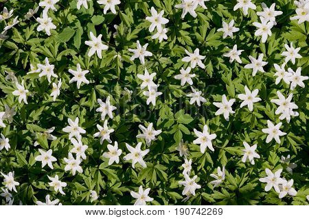 Wood anemone (Anemone nemorosa) spring flowers blooming in forest, in Finland, high angle view.
