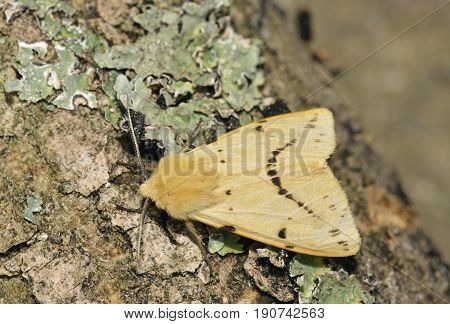 Buff Ermine Moth - Spilosoma luteum Moth on log