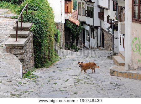 VELIKO TARNOVO BULGARIA - JUNE 26 2016: Stray dog in the narrow street of the town