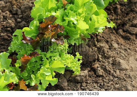 Fresh green aand red curly lettuce growing in bed. Ssalad background. Top view .