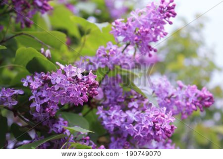 A bouquet of lilacs. Fresh and clear Lilac. The lilac Bush in summer after rain. Lilac Bush pictures.  Flowers bright cluster