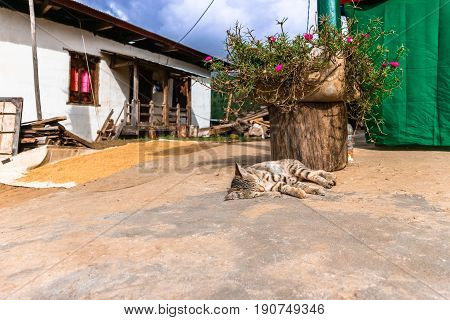 Little Bhutanese Tabby Cat Laying On The Floor In A Village In Bhutan.