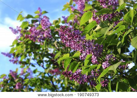 The lilac Bush in summer on sky background. Lilac Bush against the sky pictures. A bouquet of lilacs. Flowers bright cluster