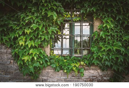 Old metal grilled window with overgrown green plants