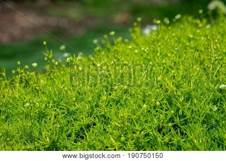Close-up Of Heath Pearlwort Lawn (sagina Subulata) Grow At Greenhouse