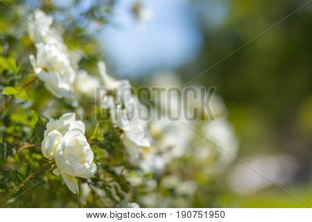 Bush of white roses on a background of blue sky. Floral background with space for text. Beautiful white roses.Selective focus.Background with roses