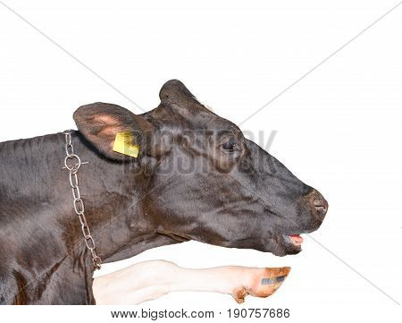 Funny black and white spotted cow point hoof to the sky. Cow isolated on white background. Farm animals. Portrait of a young talking isolated cow close up