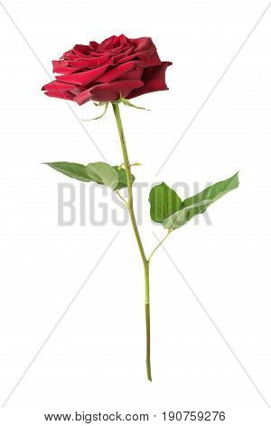 Luxurious dark-red rose on a long stem with green leaves isolated on white background side view