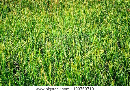 Green grass texture. Background of natural intensive green grass.