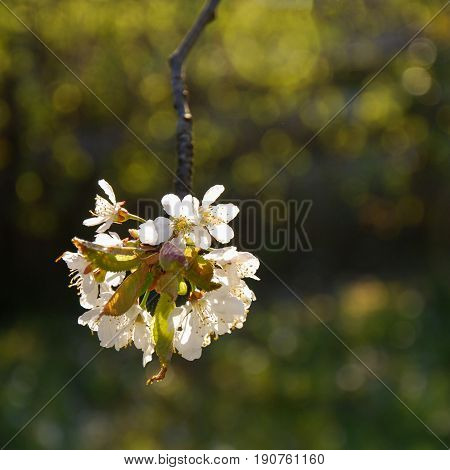 Growing twig with sunlit white cherry blossom