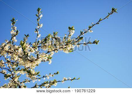 Blossom plum tree branch by a blue sky